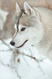 Ritratto grigio e bianco del cane del husky siberiano di inverno Fotografia Stock Libera da Diritti