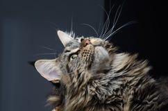 Ritratto grigio e nero del gatto di procione lavatore di Maine Fotografia Stock Libera da Diritti