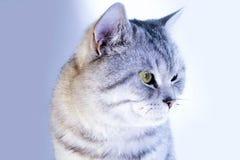 Ritratto grigio a strisce del gatto bello Immagini Stock