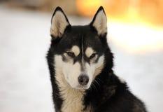Ritratto husky del cane di bellezza Fotografia Stock Libera da Diritti