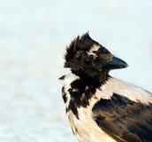 Ritratto incappucciato del corvo (cornix del Corvus) Fotografie Stock