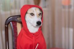 Ritratto indumento adatto del cane bianco di nuovo mentre sedendosi su una sedia alla tavola fotografie stock libere da diritti
