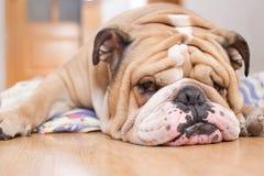 Ritratto inglese del bulldog Fotografia Stock Libera da Diritti