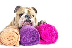 Ritratto inglese del bulldog con i tovaglioli   Fotografie Stock Libere da Diritti