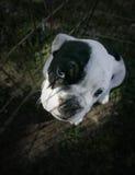 Ritratto inglese del cucciolo del bulldog Fotografie Stock Libere da Diritti