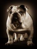 Ritratto inglese dello studio del bulldog Fotografia Stock Libera da Diritti