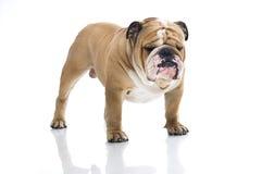 Ritratto inglese sveglio del bulldog   Immagine Stock Libera da Diritti