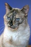 Ritratto irritabile del gatto Fotografia Stock