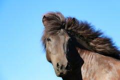 Ritratto islandese della testa di cavallo immagini stock