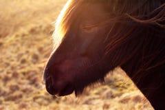 Ritratto islandese della testa di cavallo nella lampadina di tramonto fotografia stock libera da diritti