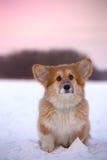 Ritratto lanuginoso del cucciolo del Corgi fotografia stock libera da diritti
