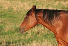 Ritratto laterale del cavallo Fotografia Stock