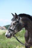 Ritratto lettone grigio del cavallo della razza di estate Fotografie Stock Libere da Diritti
