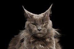 Ritratto Maine Coon Cat del primo piano su fondo nero immagine stock
