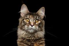 Ritratto Maine Coon Cat Isolated del primo piano su fondo nero Immagini Stock Libere da Diritti