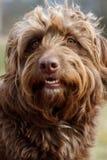 Ritratto marrone peloso del cane, pi? piccola razza della miscela immagini stock libere da diritti