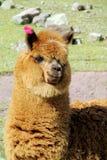 Ritratto marrone sveglio della lama o dell'alpaga Fotografie Stock Libere da Diritti