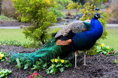 Ritratto maschio del pavone immagine stock libera da diritti