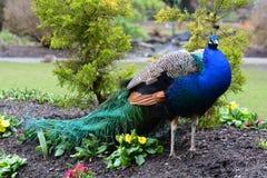 Ritratto maschio del pavone immagini stock
