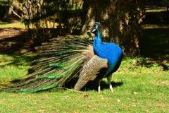Ritratto maschio del pavone fotografia stock