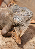 Ritratto maschio dell'iguana fotografia stock libera da diritti