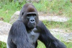 Ritratto maschio della gorilla Fotografia Stock Libera da Diritti