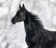 Ritratto monocromatico di eseguire cavallo nero fotografia stock libera da diritti