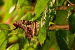 Ritratto munito della farfalla di Jay. immagine stock libera da diritti
