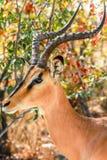Ritratto Namibia dell'antilope saltante fotografie stock