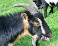 Ritratto nano cornuto della capra Fotografia Stock