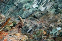 Ritratto nascosto dello stambecco alpino del corno, capra ibex, con le rocce colorate nel fondo, animale nell'habitat della natur Fotografie Stock Libere da Diritti