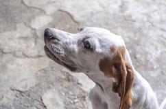 Ritratto nel bianco di profilo con il puntatore castano dorato del cucciolo delle orecchie Fotografia Stock Libera da Diritti