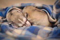Ritratto neonato dello studio dei cuccioli del cane del husky siberiano sulla coperta Immagini Stock
