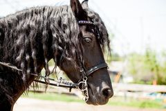 Ritratto nero del cavallo di Frisian Fotografie Stock Libere da Diritti