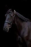 Ritratto nero del cavallo su fondo nero Immagini Stock