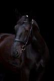 Ritratto nero del cavallo su fondo nero Immagine Stock