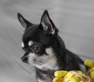 Ritratto nero della chihuahua Fotografie Stock