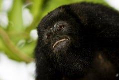 Ritratto nero della scimmia di svarione Fotografia Stock Libera da Diritti