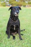 Ritratto nero di Labrador Fotografia Stock