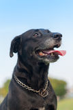 Ritratto nero di Labrador Fotografie Stock Libere da Diritti