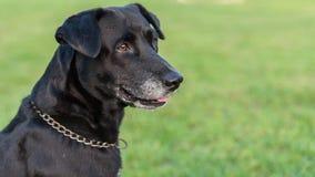 Ritratto nero di Labrador Immagine Stock