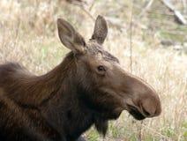 Ritratto nordico della fauna selvatica dell'animale selvatico dell'Alaska delle alci grandi della mucca Fotografia Stock