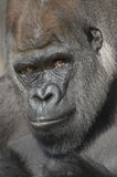 Ritratto occidentale della gorilla della pianura Fotografia Stock