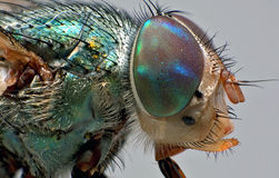 Ritratto piacevole della mosca Fotografie Stock Libere da Diritti