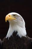 Ritratto regale dell'aquila calva fotografie stock libere da diritti