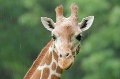 Ritratto reticolare della giraffa Fotografia Stock Libera da Diritti