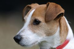 Ritratto rivestito liscio del Terrier del Jack Russell del pastore fotografie stock libere da diritti
