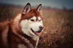 Ritratto rosso del cane del husky siberiano nel prato di primavera Fotografie Stock