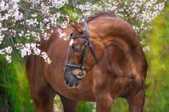 Ritratto rosso del cavallo nel fiore di primavera Immagini Stock