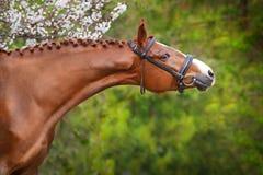Ritratto rosso del cavallo nel fiore di primavera Immagine Stock Libera da Diritti